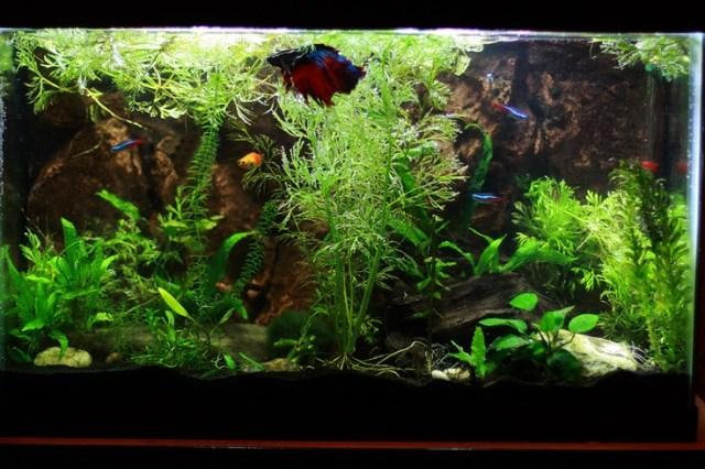 Betta tank with live plants | Mr. Fish | Pinterest