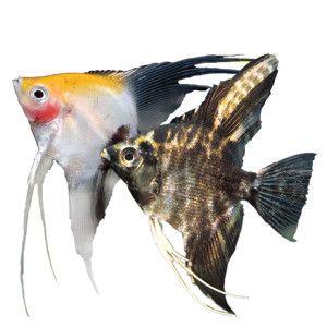 Angelfish   PetSmart | wishlist | Pinterest