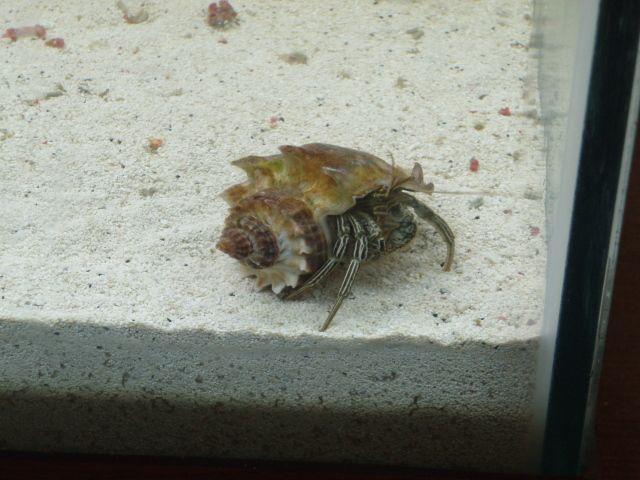 Saltwater Hermit Crab | Aquarium Life | Pinterest