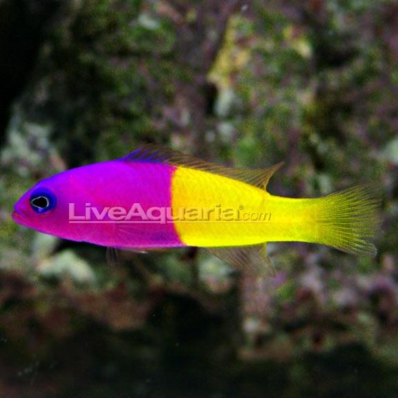 purple and yellow | Fish | Pinterest