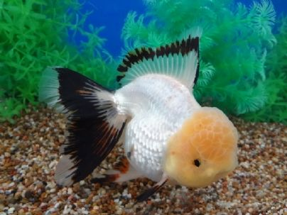 Pin by SHELLEY on GOLD FISH fresh water aquariums | Pinterest