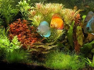 Discus Fish Many Colours & Varieties for sale in Carrum Downs VIC