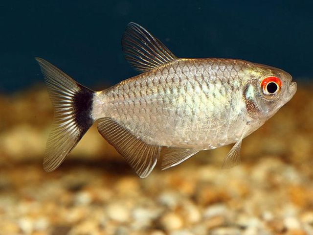 Red Eye Tetra (had 4 now up to 6)