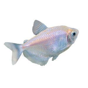 Skirt Tetra | Live Fish | PetSmart | fishbowl | Pinterest
