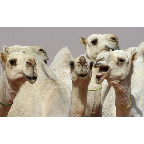 Medium Crop Of Camel Camel Camel
