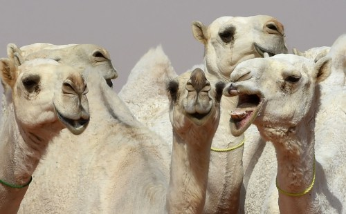 Medium Of Camel Camel Camel