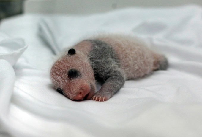 A newborn giant panda cub, one of the triplets which were born to giant panda Juxiao, is seen inside an incubator at the Chimelong Safari Park in Guangzhou