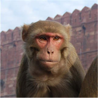 Macaque_India_4