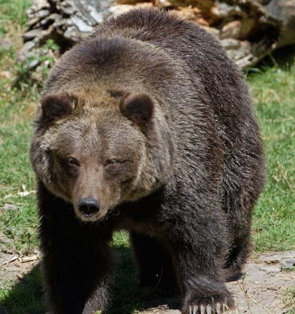 California Black Bear (not the actual bear that attacked the man in this story)