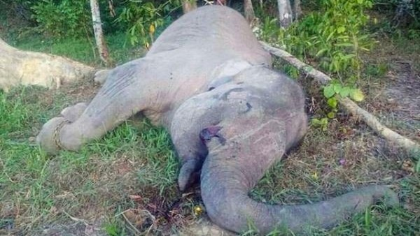 Yongki the Sumatran elephant was found dead in his enclosure. Photo: Bukit Barisan Selatan National Park.