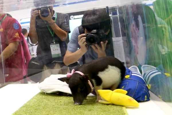 BGI showcases its micropigs at a summit in Shenzhen, China. [BGI]