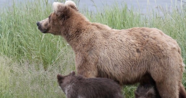 A snapshot from the explore.org bear-cam