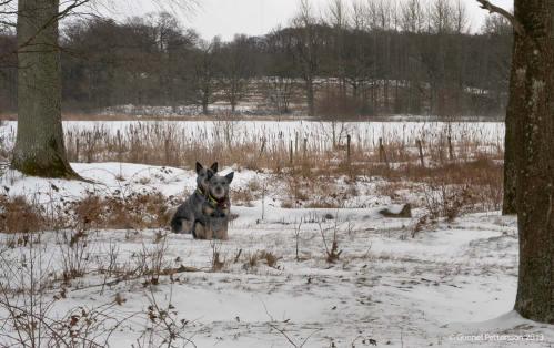 Två goa cattledoggar väntar på signal
