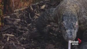 Sneak peek of new Komodo dragon exhibit at Saskatoon zoo