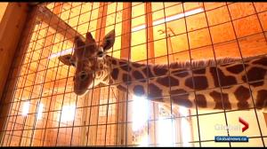 Calgary Zookeeper give insight on April the giraffe