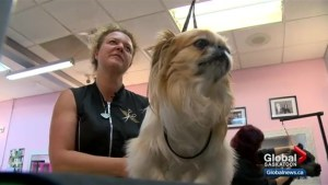 Saskatoon dog groomer heading to world championship