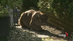 Vancouver Island's rise in cougar interactions