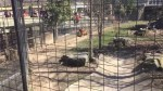 Woman jumps over fence of Toronto Zoo's tiger enclosure at  to recover hat