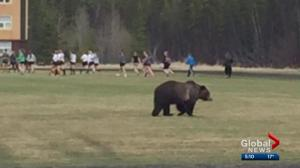 Coach describes 'moment of panic' as grizzly bear joins Banff high school rugby practice