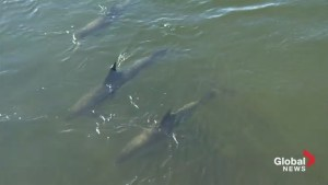 Rescue crews struggle to lead stranded dolphins in N.B. to open water