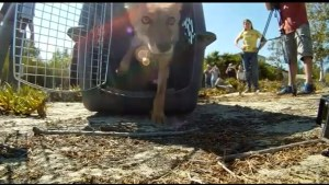 Coyote puppy released after recovering from wildfire burns