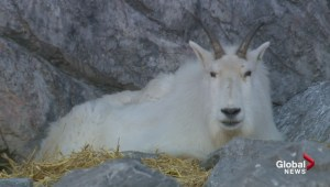Canada's Greatest Animal candidates frolic at the Calgary Zoo