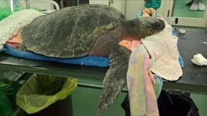 Rare sea turtle found in Wales, thousands of km from its natural habitat