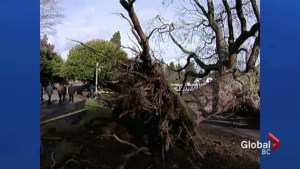 A look back at the 2006 Stanley Park windstorm