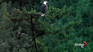 Echo Lake eagle colony threatened?