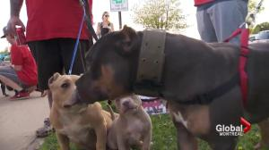 Montreal city council votes in favour of pit bull ban