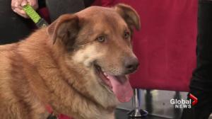 Adopt a Pet: Bear the Husky/Malamute cross