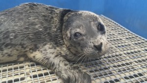 Rescued seal pup on the mend