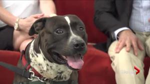 Adopt a pet: Orion the American Staffordshire Terrier