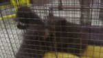 3 bear cubs found in Banff will not be sent to B.C. for rehabilitation