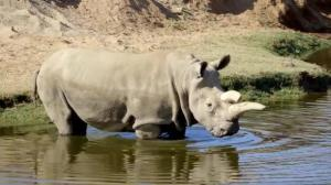 One of only 6 northern white rhinos left in the world dies at zoo