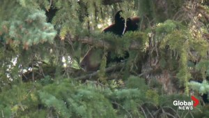 Bear tranquilized and taken away from Bayview