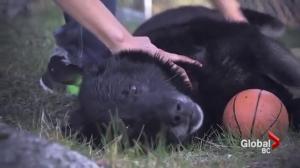 Sako the hero dog from Kanaka Bar honoured