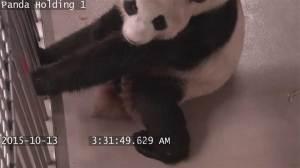 Footage shows giant panda give birth at Toronto Zoo