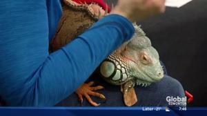 Edmonton Valley Zoo: Stella the Iguana