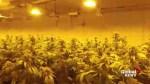 Could marijuana turn into big business in Alberta?
