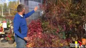 Gardening Tips: Fall colours, maple bugs and tulips