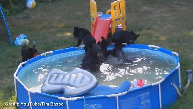 They Took My Floatie Family Watches As Mother Bear Five Cubs Have Backyard Pool Party