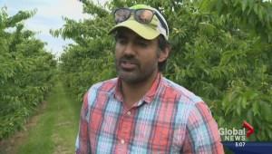 Cherry harvest is three weeks early in Okanagan