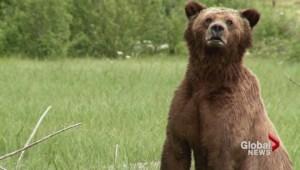 Hunter mauled by male Grizzly bear near Fernie