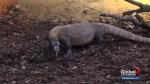 New home for Saskatoon's zoo's 2 Komodo dragons unveiled