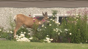 Kelowna residents fed up with deer propose cull
