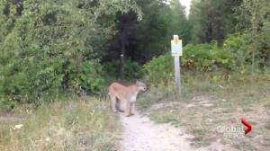 Cougar warning issued on Grouse Grind