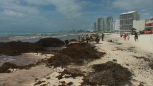 RAW: Large piles of seaweed wash ashore Mexico's Caribbean coast