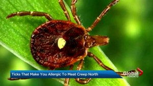Tick that will trigger allergy to red meat