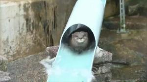 Otters at Japanese zoo ride a water slide to beat the heat